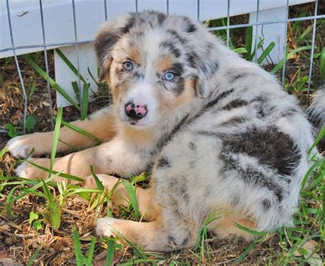 Shamrock Rose Aussies - UPDATE!! NEW PICTURES ADDED OF