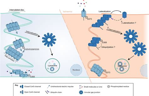 Role of connexin 43 in different forms of intercellular