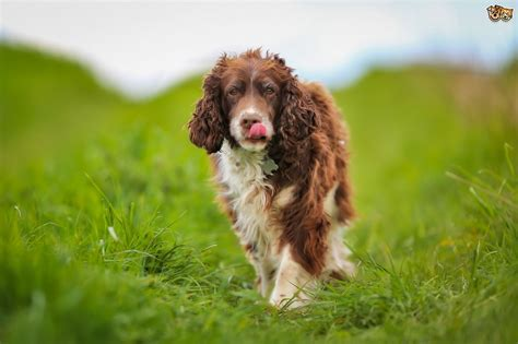 Longevity and health of the English and Welsh springer