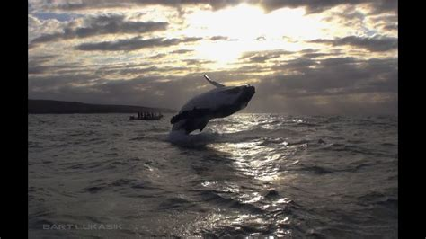 Whale jumps out of the water next to a boat full of divers