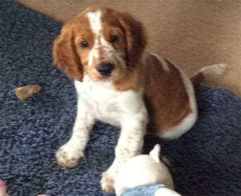 WELSH SPRINGER SPANIEL PUPPIES   Dalry, Ayrshire   Pets4Homes