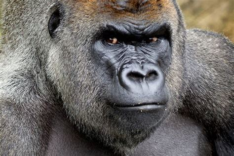 Second gorilla dies in captivity 24 hours after Harambe